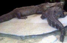 Straffen tot drie jaar geëist tegen krokodillenbende [Boevennieuws]