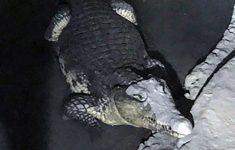 Russische politie vindt krokodil bij zoektocht naar wapens [Panorama]