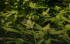 3 jaar cel voor 19 kilo cannabis [Crimesite]